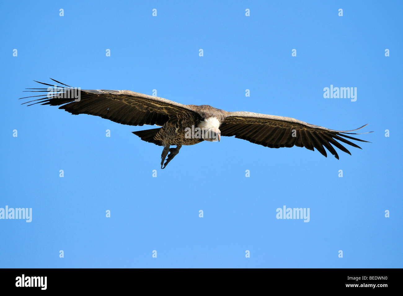 Rueppell's Vulture (Gyps rueppellii) in flight, Masai Mara Nature Reserve, Kenya, East Africa Stock Photo