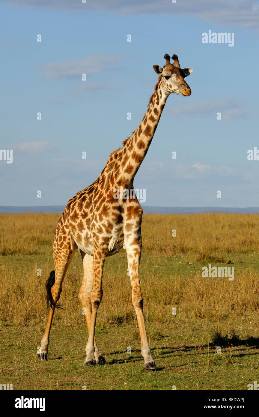 Masai Giraffe (Giraffa camelopardalis tippelskirchi), Masai Mara Nature Reserve, Kenya, East Africa Stock Photo
