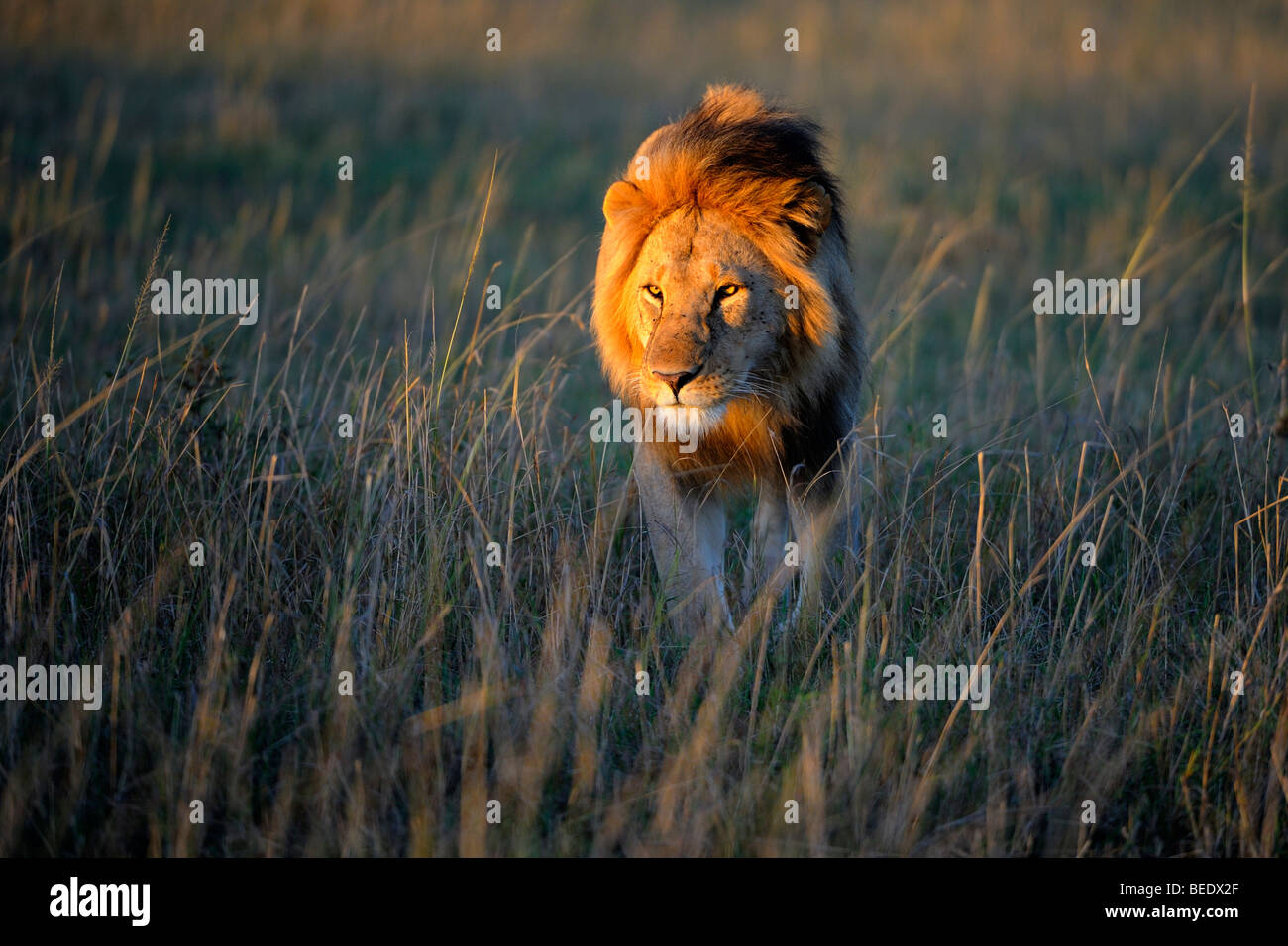 Lion (Panthera leo) with a mane in the first morning light, Masai Mara Nature Reserve, Kenya, East Africa - Stock Image