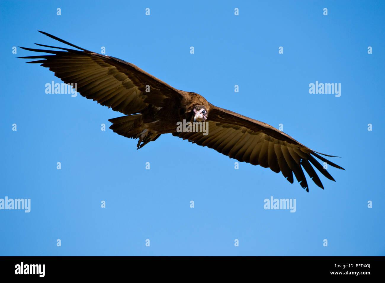 Hooded Vulture (Necrosyrtes monachus) in flight, Masai Mara Nature Reserve, Kenya, East Africa Stock Photo