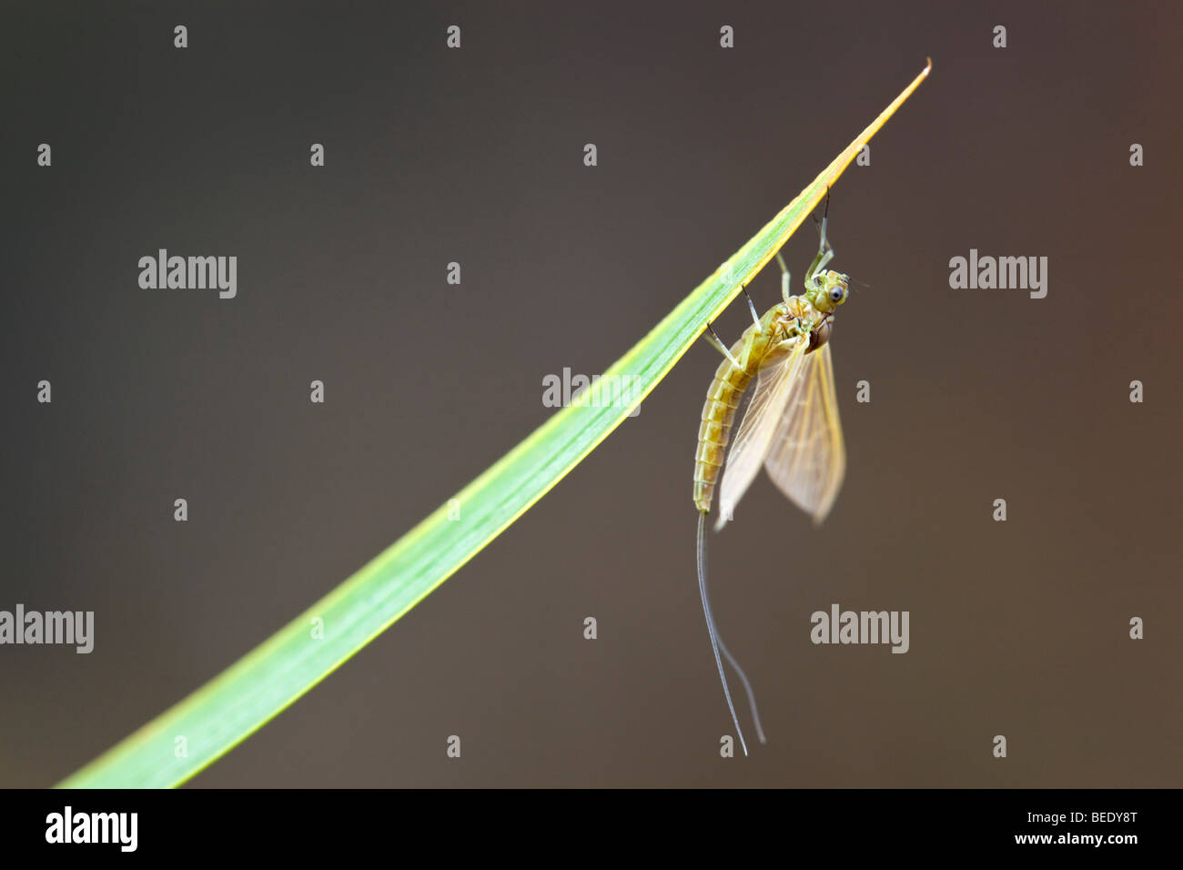 Mayfly; on stem - Stock Image