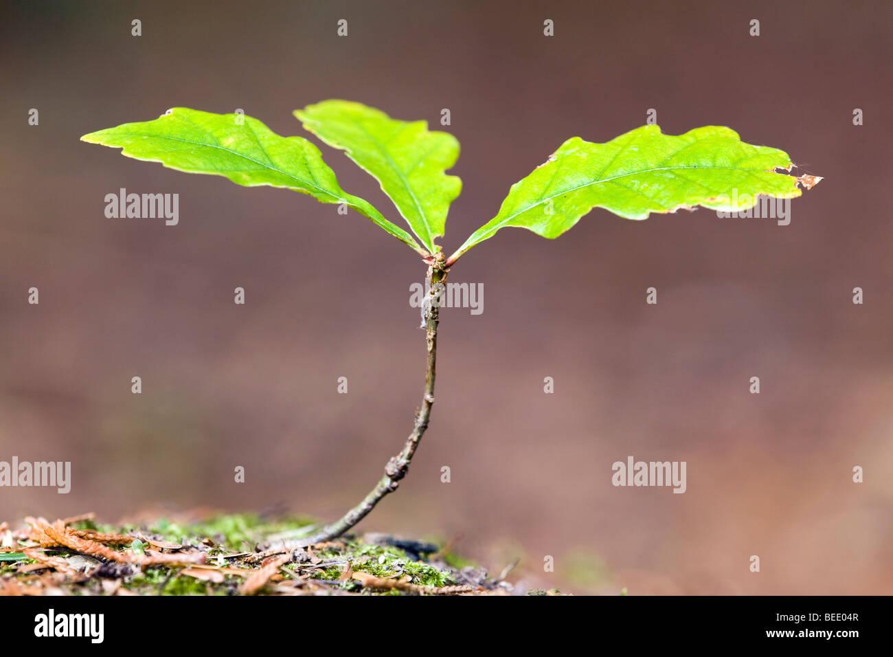 Oak sapling; Quercus robur - Stock Image