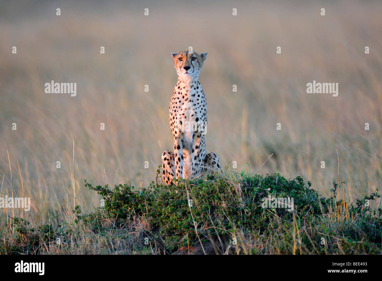Cheetah (Acinonyx jubatus), on the lookout from a termite hill in the last light of day, Masai Mara Nature Reserve, - Stock Image