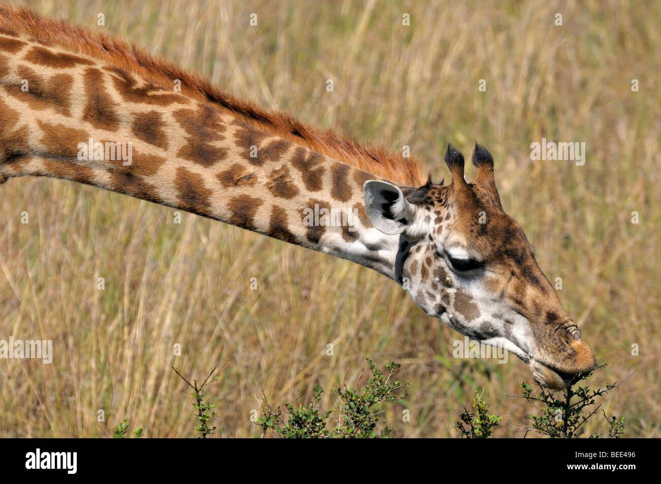 Masai Giraffe (Giraffa camelopardalis tippelskirchi), portrait, Masai Mara Nature Reserve, Kenya, East Africa - Stock Image