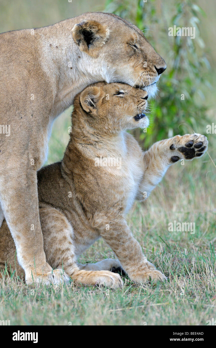 Lions (Panthera leo), female and cub cuddling, Masai Mara Nature Reserve, Kenya, East Africa - Stock Image