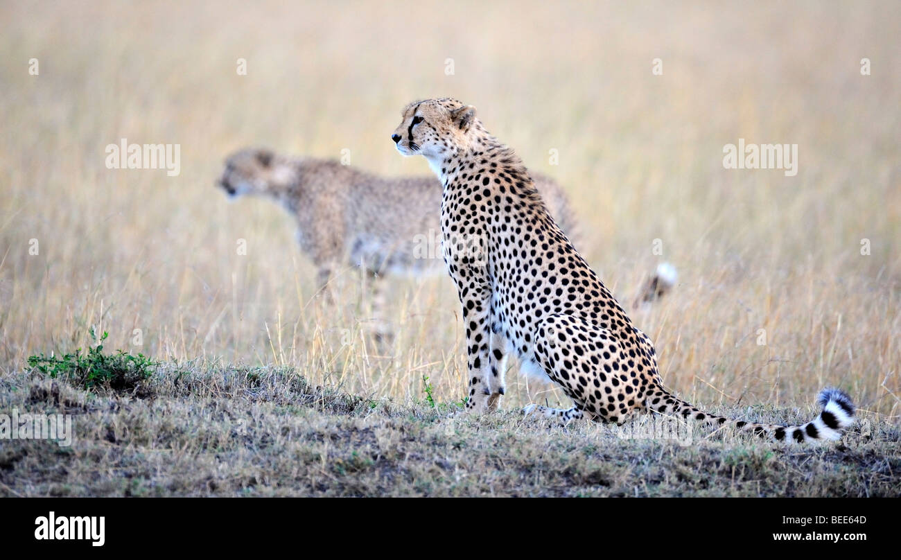 Cheetahs (Acinonyx jubatus), two brothers in the last light of day, Masai Mara Nature Reserve, Kenya, East Africa Stock Photo