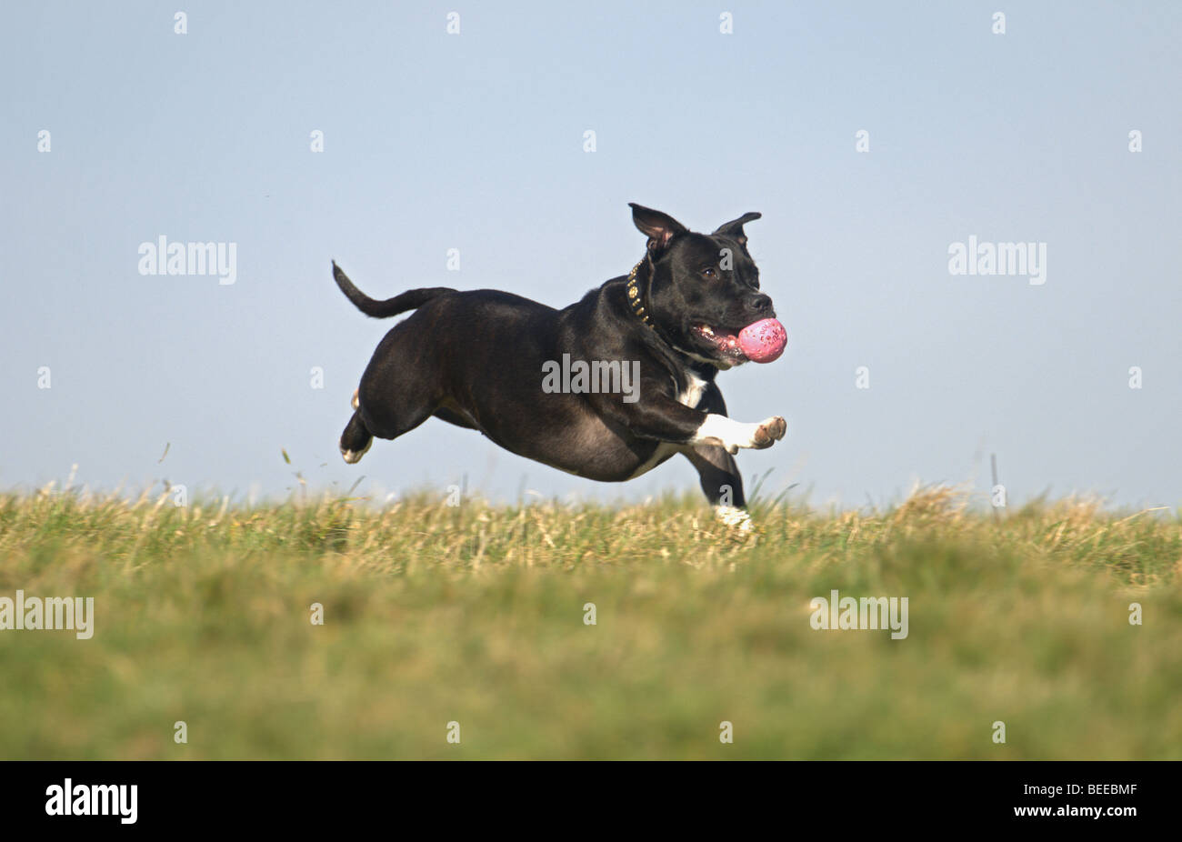 STAFFORDSHIRE BULL TERRIER DOG RUNNING ON GRASS WITH BALL IN ITS MOUTH - Stock Image