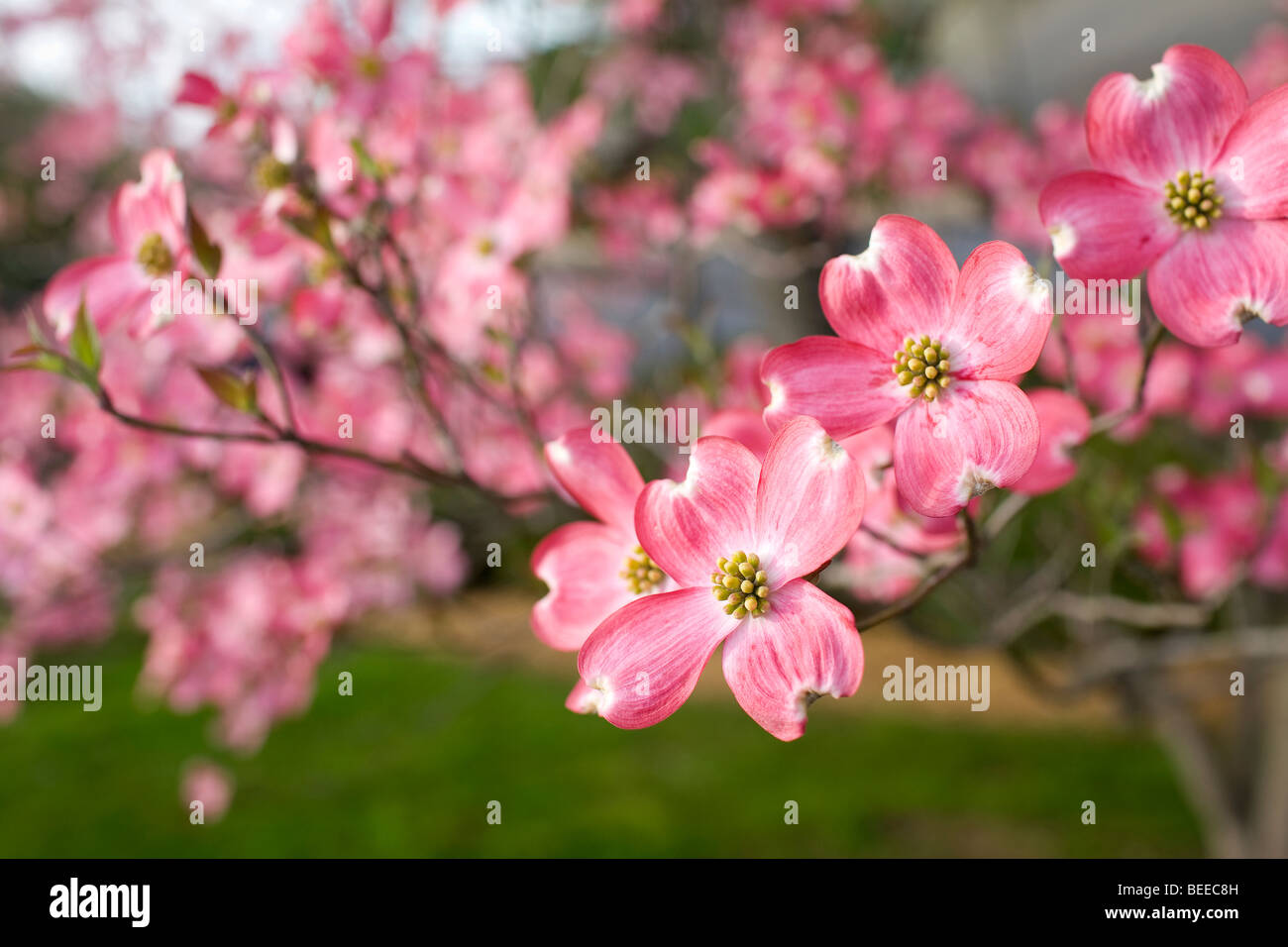 Dogwood Blossoms Stock Photos Dogwood Blossoms Stock Images Alamy