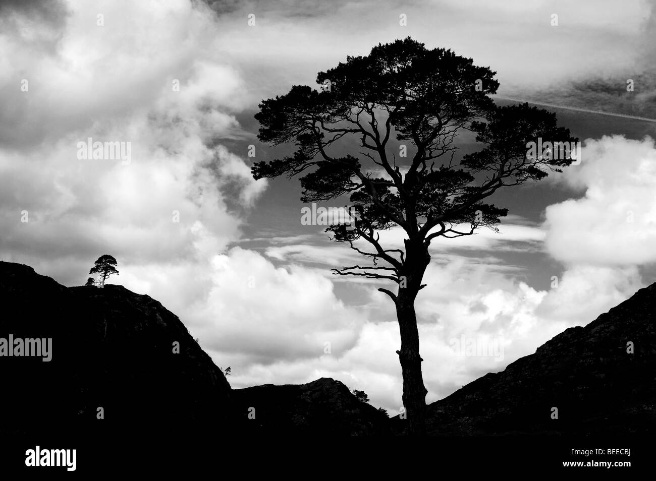 A Scots Pine tree silhouette against a cloudy sky. Highlands, Scotland. Black and White - Stock Image