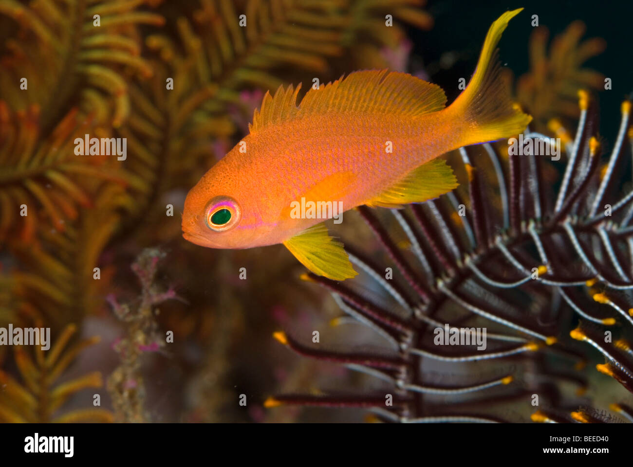 Scalefin anthias under water. - Stock Image