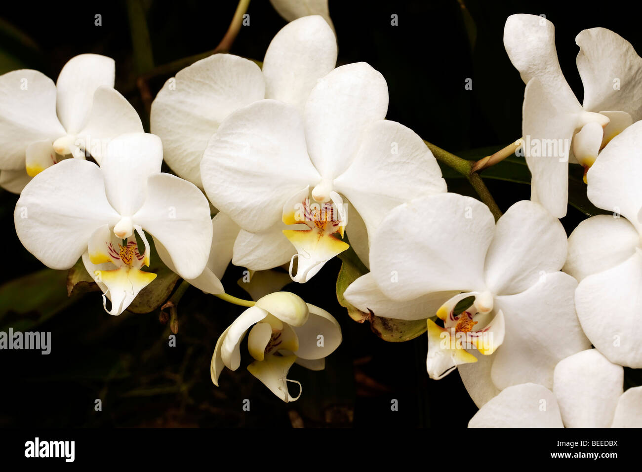 White moon flower orchid. Order Asparagales, family Orchidaceae, genus Phalaenopsis, species Aphrodite. South Africa. - Stock Image