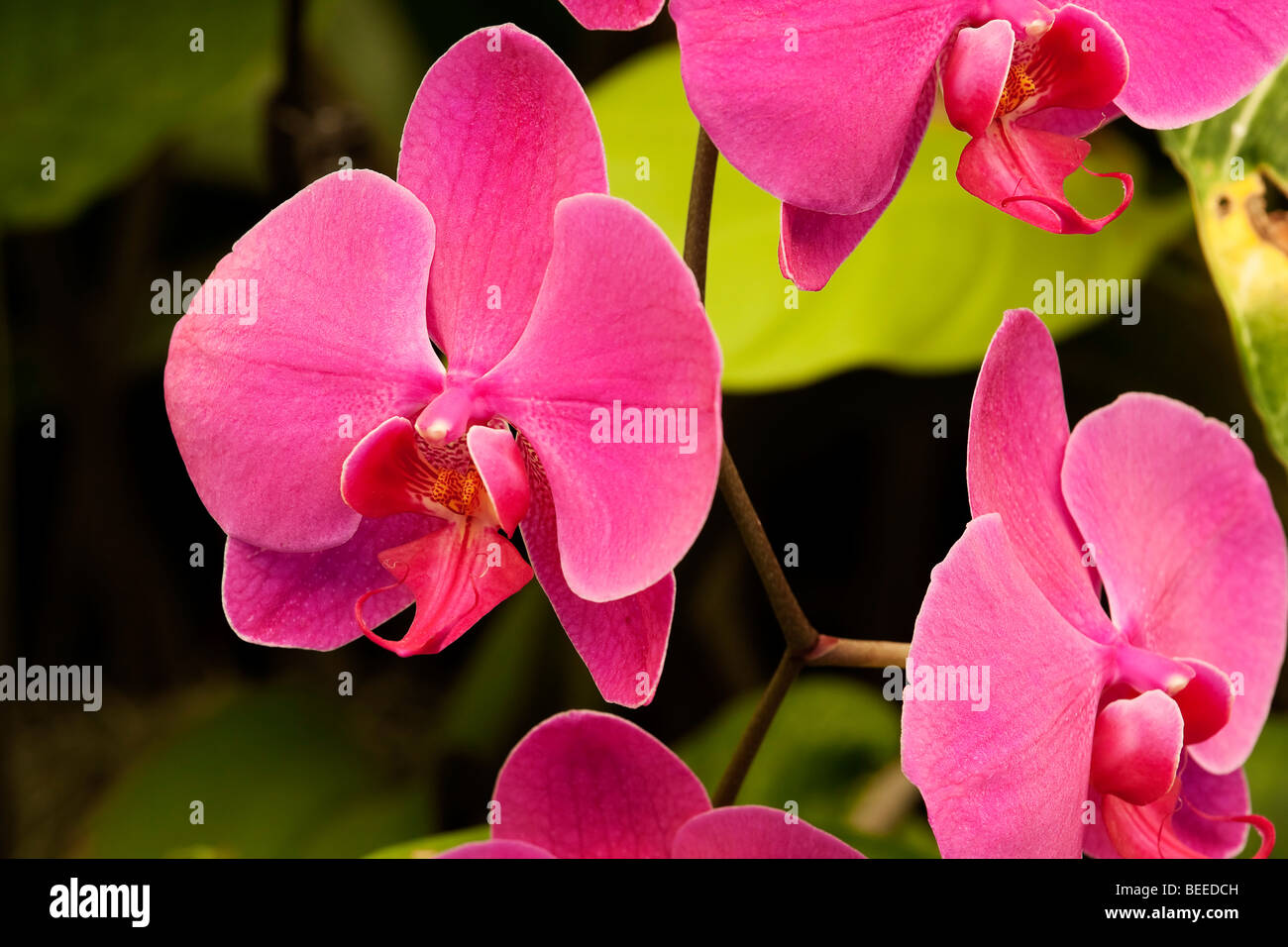 Pink orchid. Order Asparagales, family Orchidaceae, genus Phalaenopsis, species hybrid. South Africa. - Stock Image