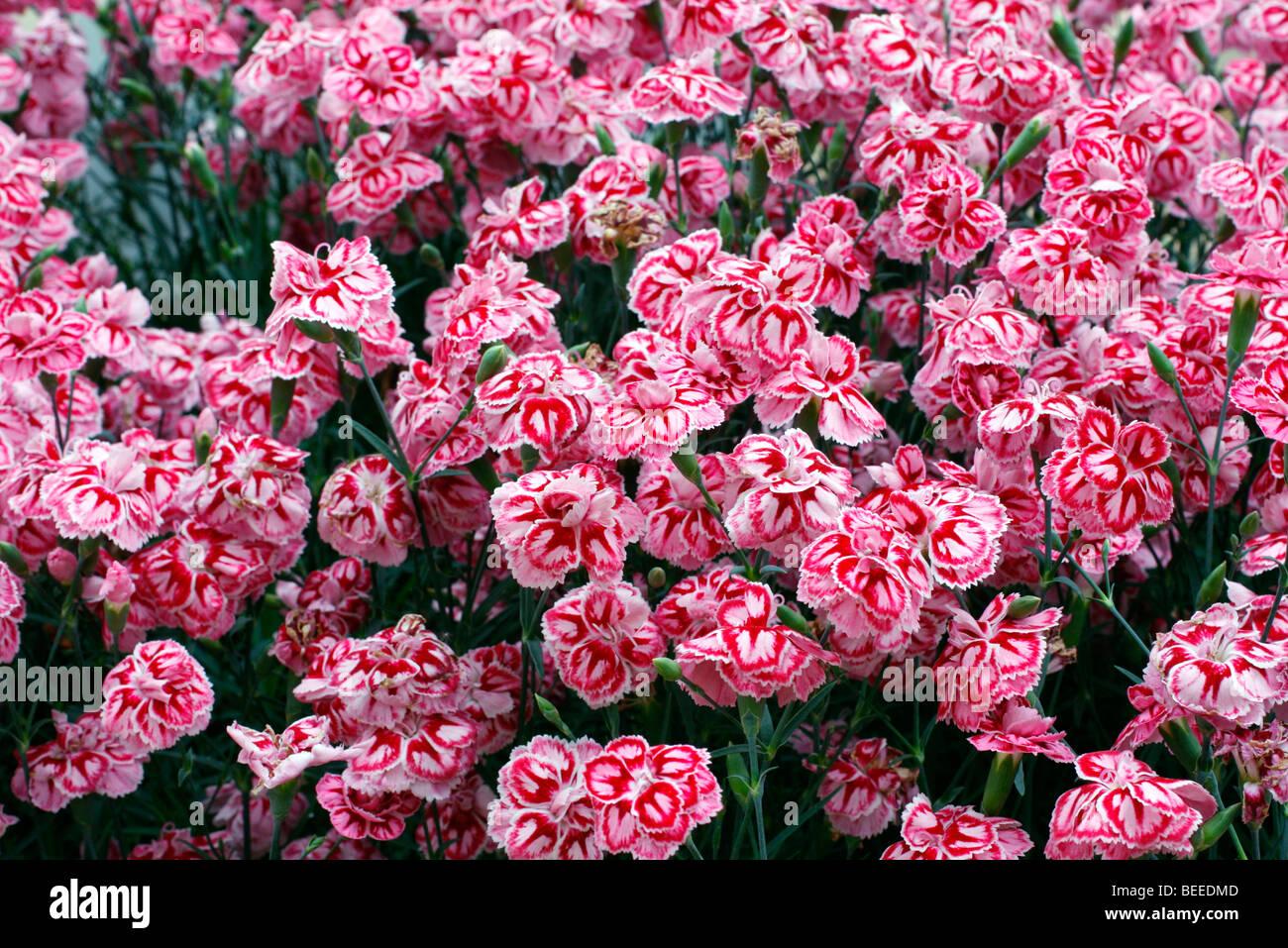 Dianthus 'Starburst' - Stock Image