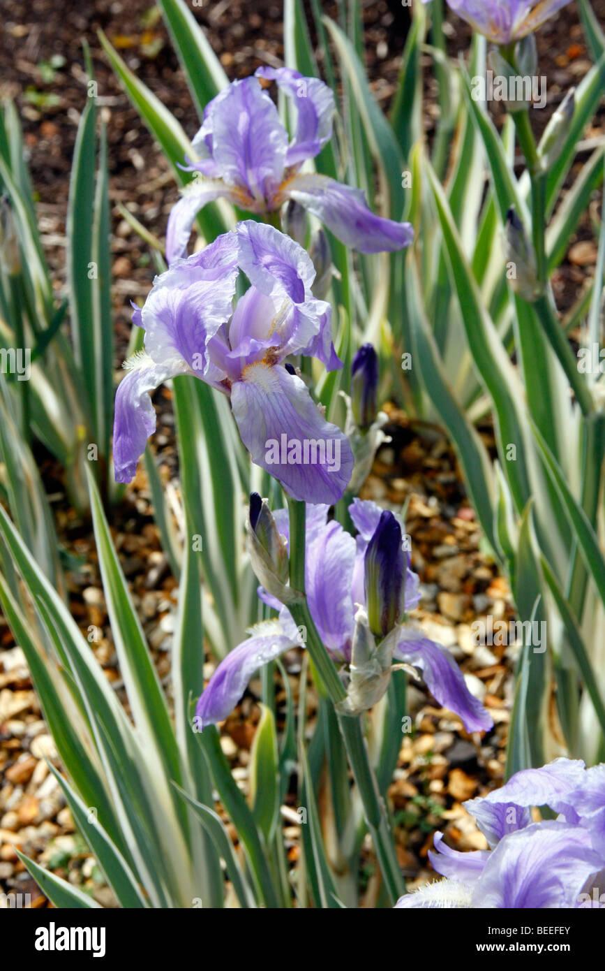 Iris pallida 'Argentea Variegata' Stock Photo