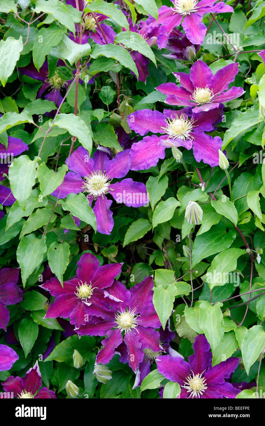 Clematis 'The Vagabond' - Stock Image