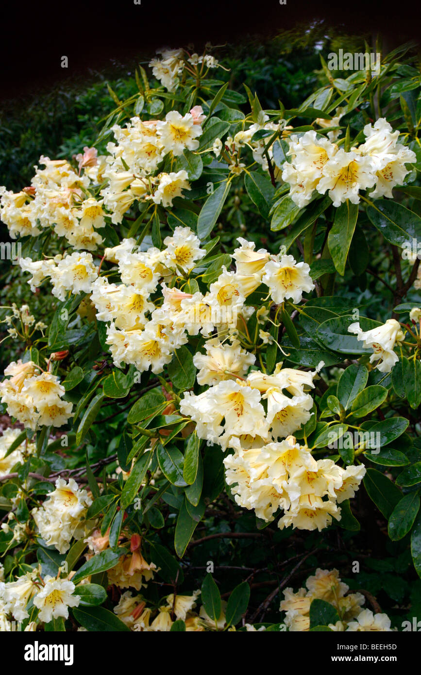 Rhododendron 'Jalisco Elect' - Stock Image
