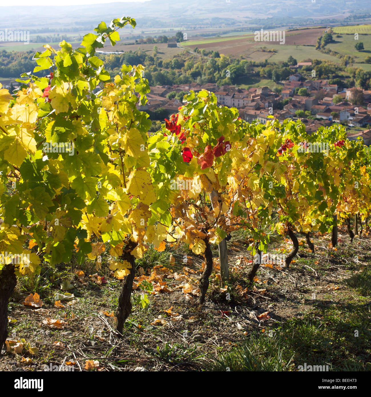 Vines in a French vineyard in autumn - Stock Image