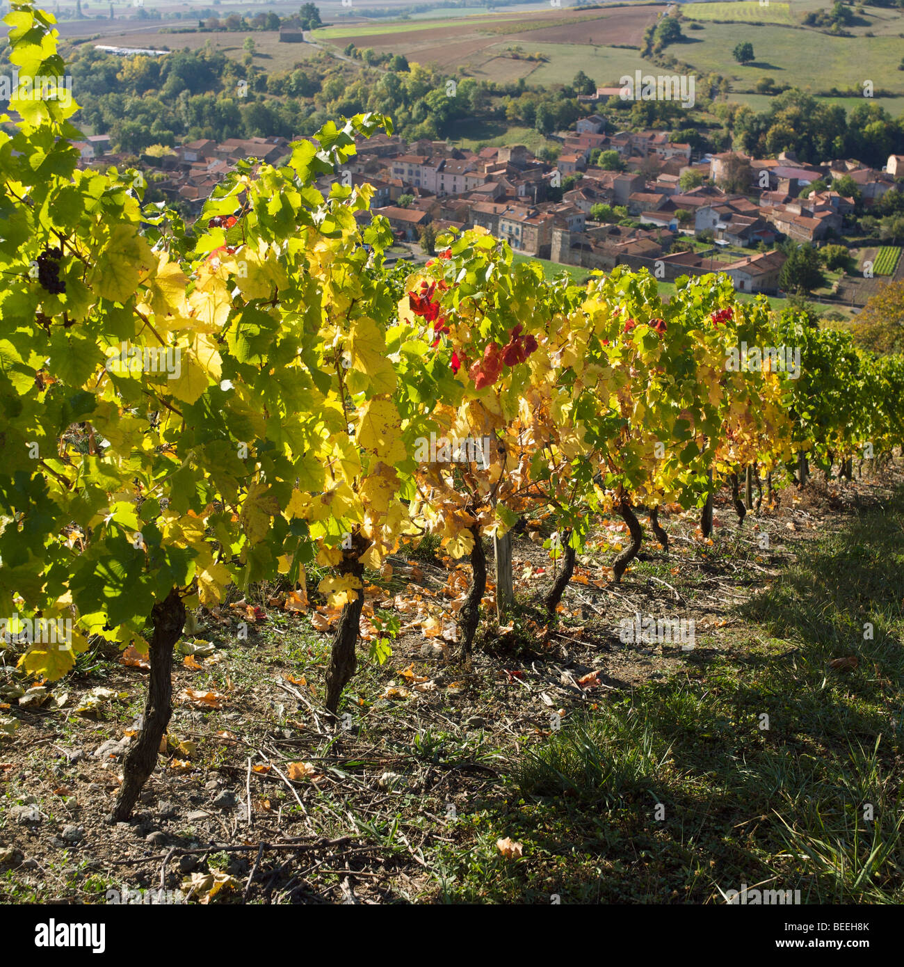 Vines in the autumn in France - Stock Image