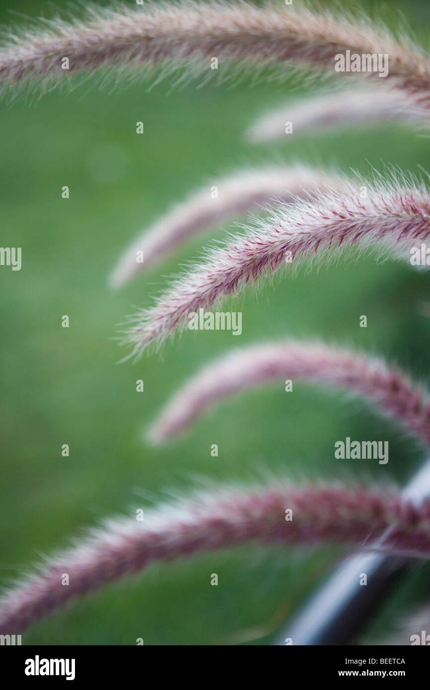 close up of purple palm grass - Stock Image