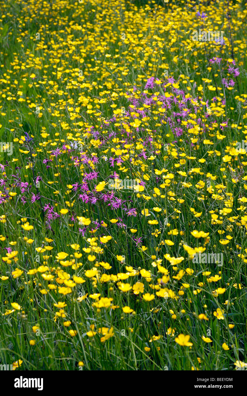 Ranunculus acrs and Lychnis flos-cuculi - Meadow Buttercups and Ragged Robin in Holbrook Garden, Devon - Stock Image