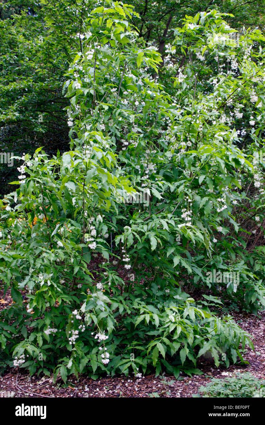 Staphylea emodi - Stock Image