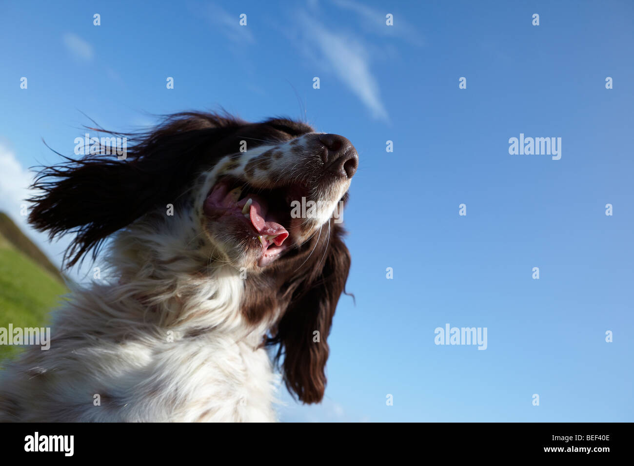 Dog Mouth Wide Open Stock Photos & Dog Mouth Wide Open Stock Images ...