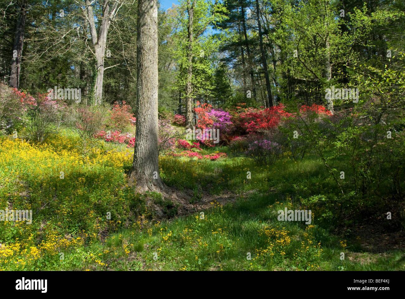 Azaleas on the Biltmore Estate in Asheville, North Carolina, USA - Stock Image