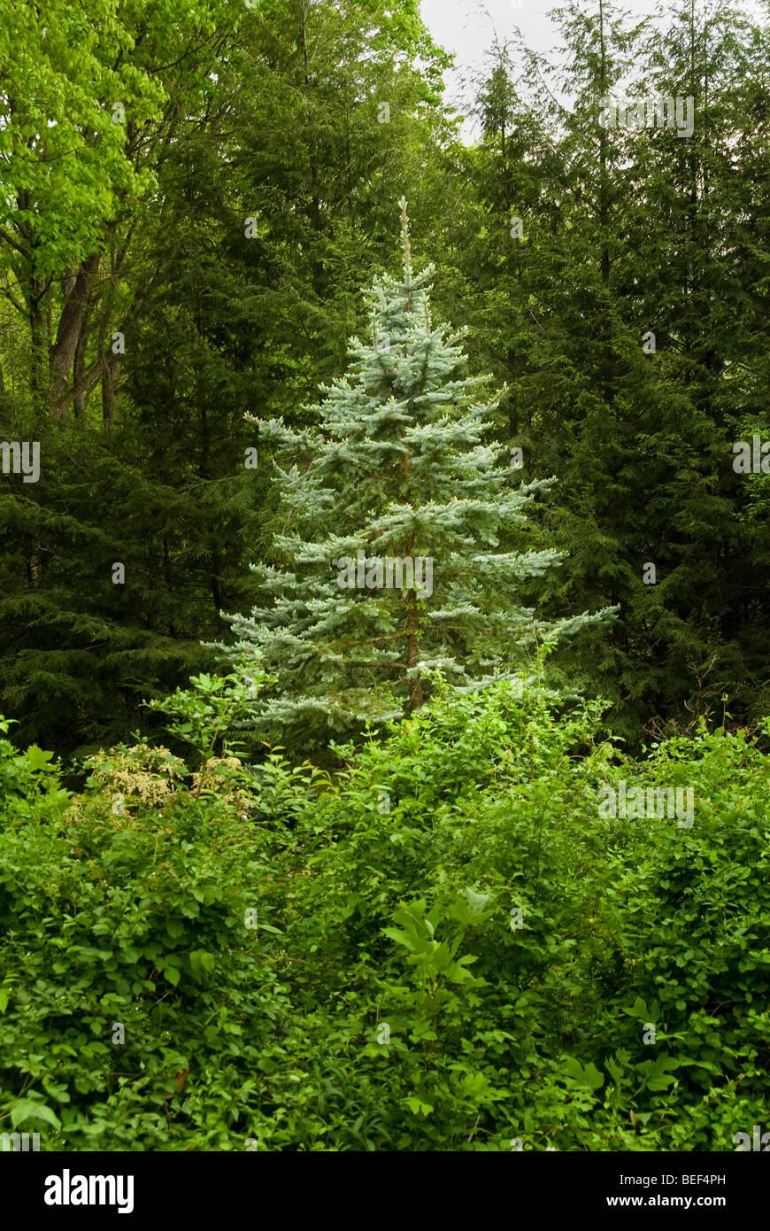 Colorado Blue Spruce tree in western North Carolina in the spring, Asheville, North Carolina, USA - Stock Image