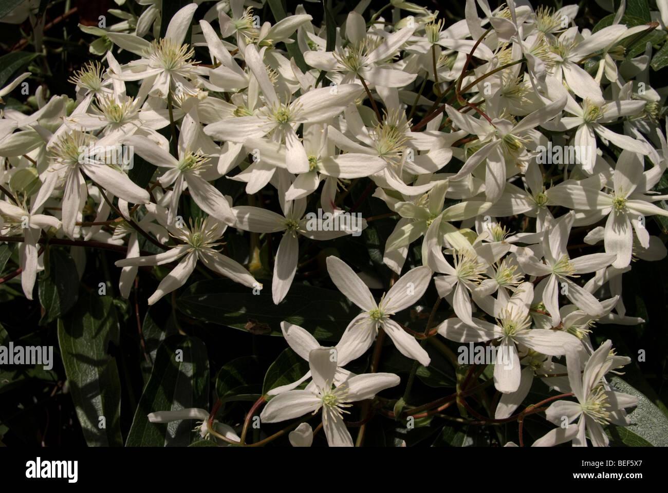 Clemitis armandii 'Snowdrift' - Stock Image