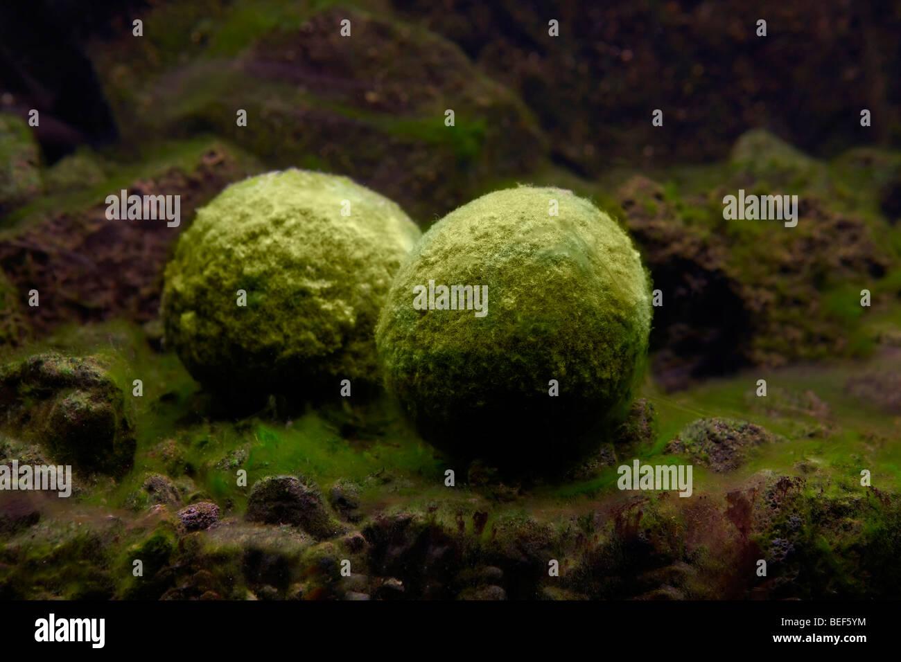 Algae Balls , Cladophora aegagrophila - Stock Image