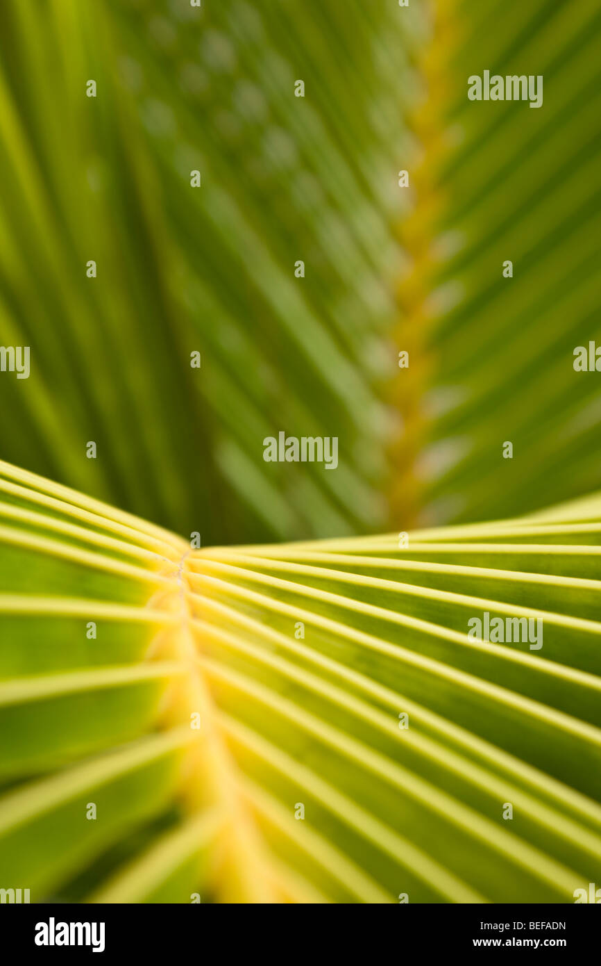 Close-up pattern of palm leaves in Guanacaste, Costa Rica. - Stock Image