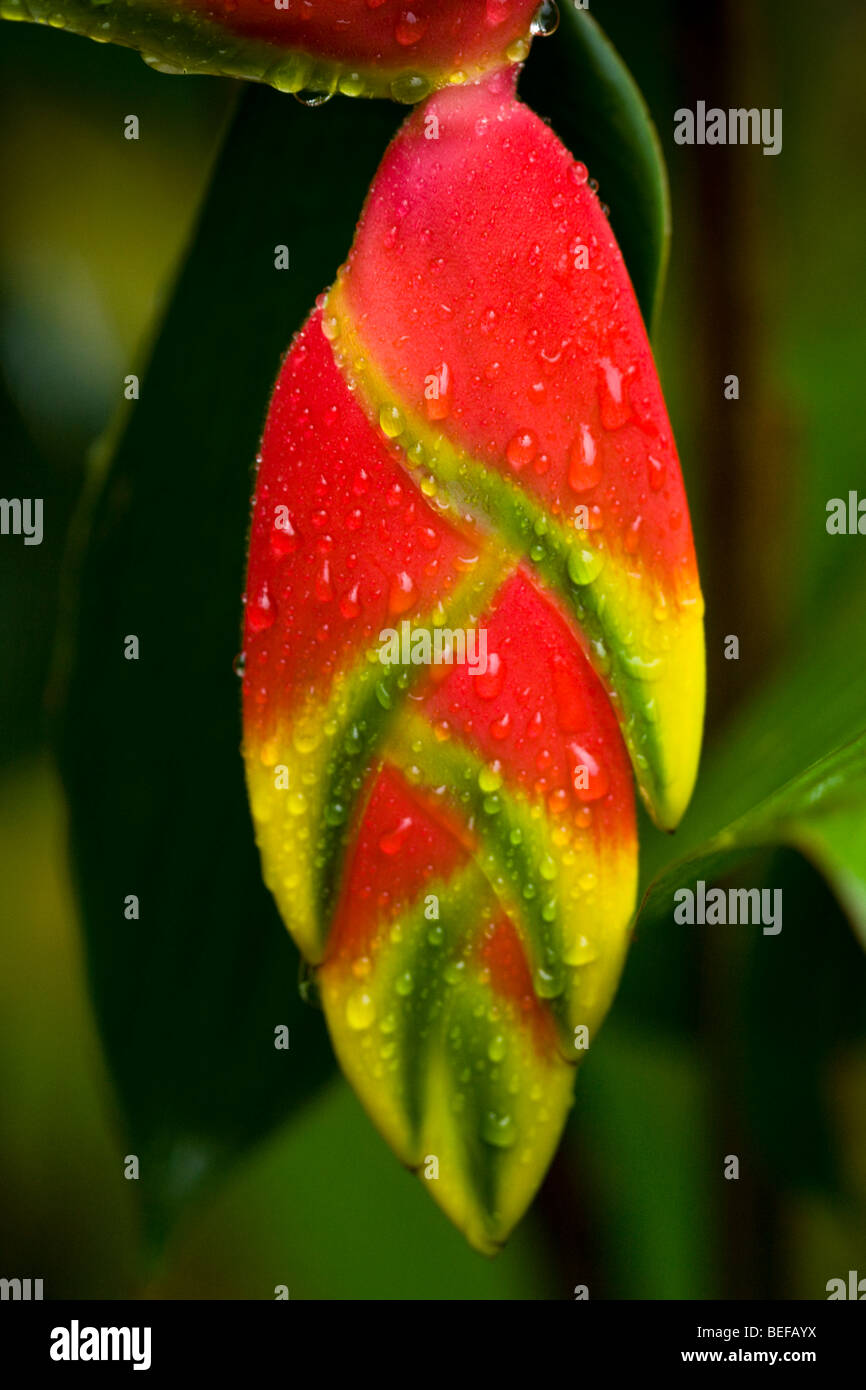 Hanging lobster claw heliconia (Heliconia rostrata) along the Gulf of Papagayo in Guanacaste, Costa Rica - Stock Image