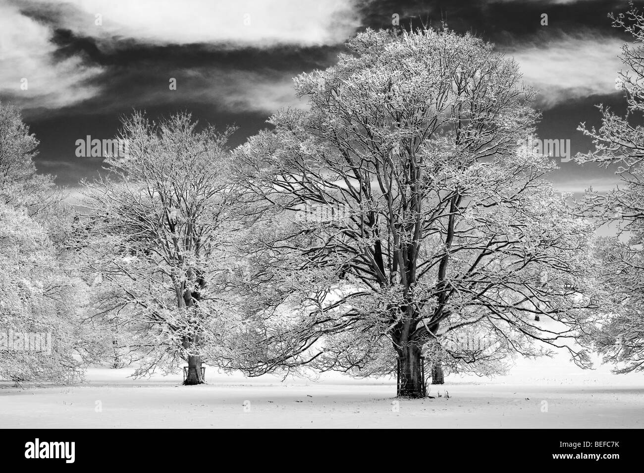Snow covered oak trees in the english countryside black and white with a high contrast red filter applied