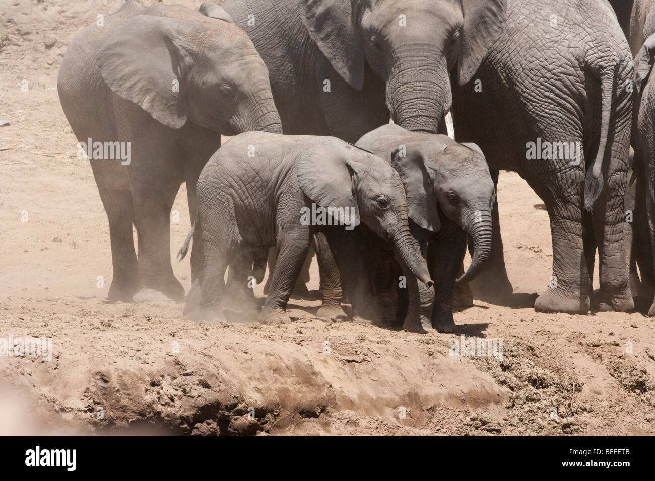 2 cute baby African elephants playing, walk together cautiously down steep river bank watched protectively by matriarch - Stock Image
