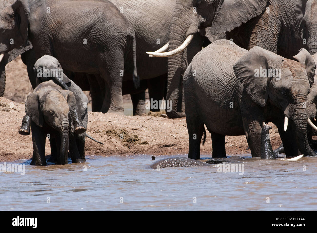 2 funny baby elephants play together in river with bathing adult, herd background, Masai Mara Kenya - Stock Image