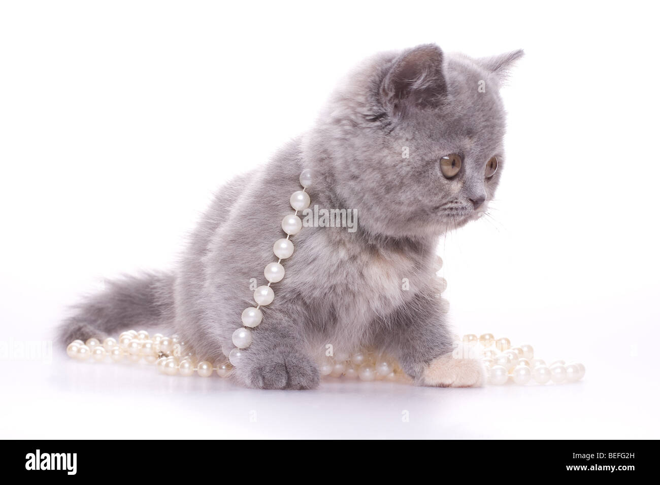 little kitty with pearls on a white background - Stock Image
