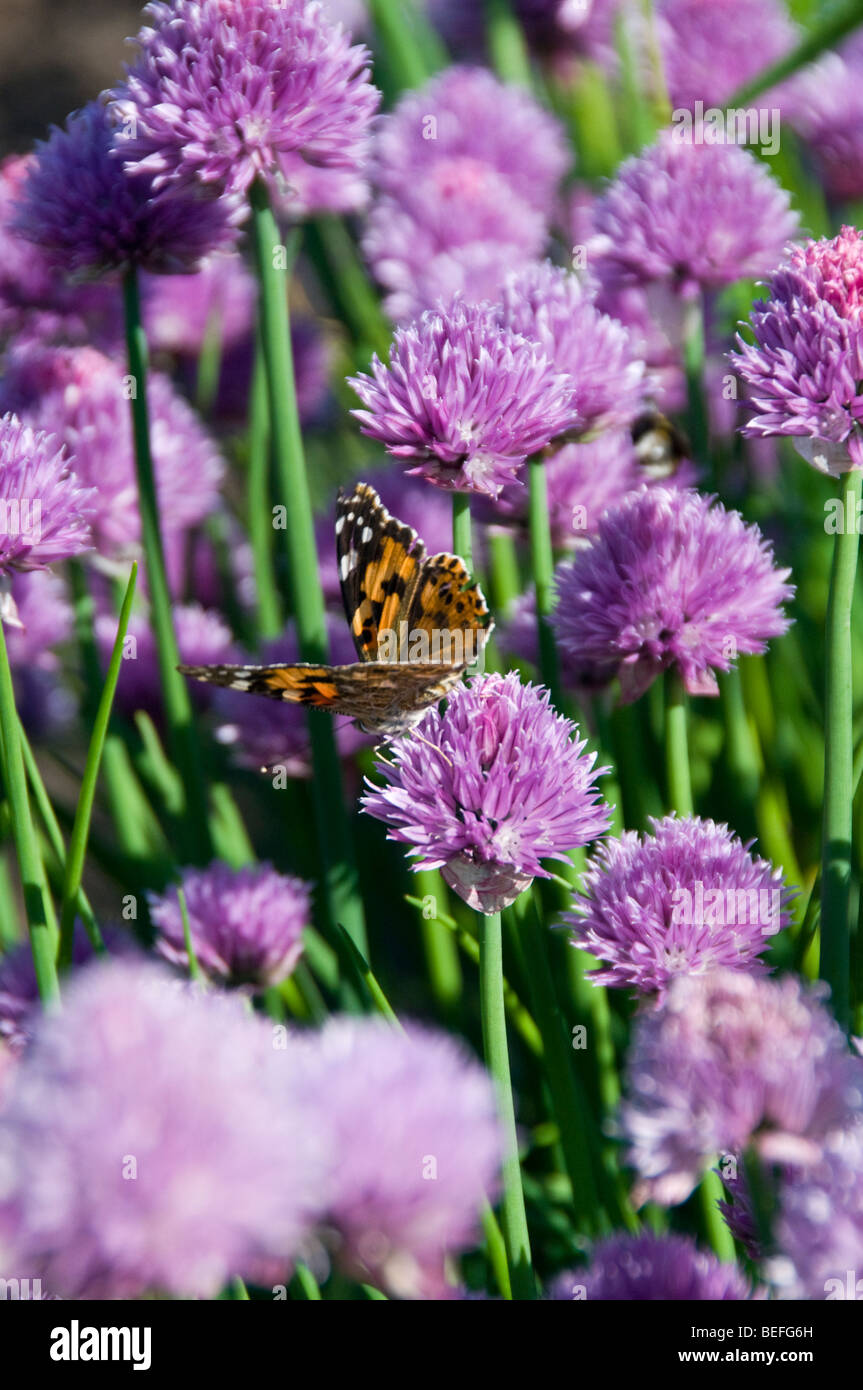 Painted Lady Butterfly (Vanessa cardui), Nymphalidae family, On Chives (Allium schoenoprasum) - Stock Image