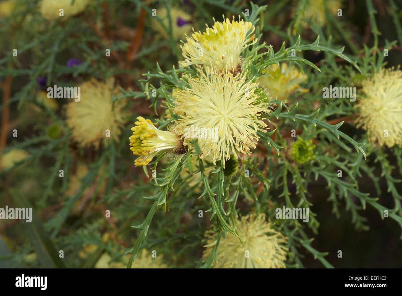 Western Australian native or endemic Dryandra (Banksia) flowers - Stock Image