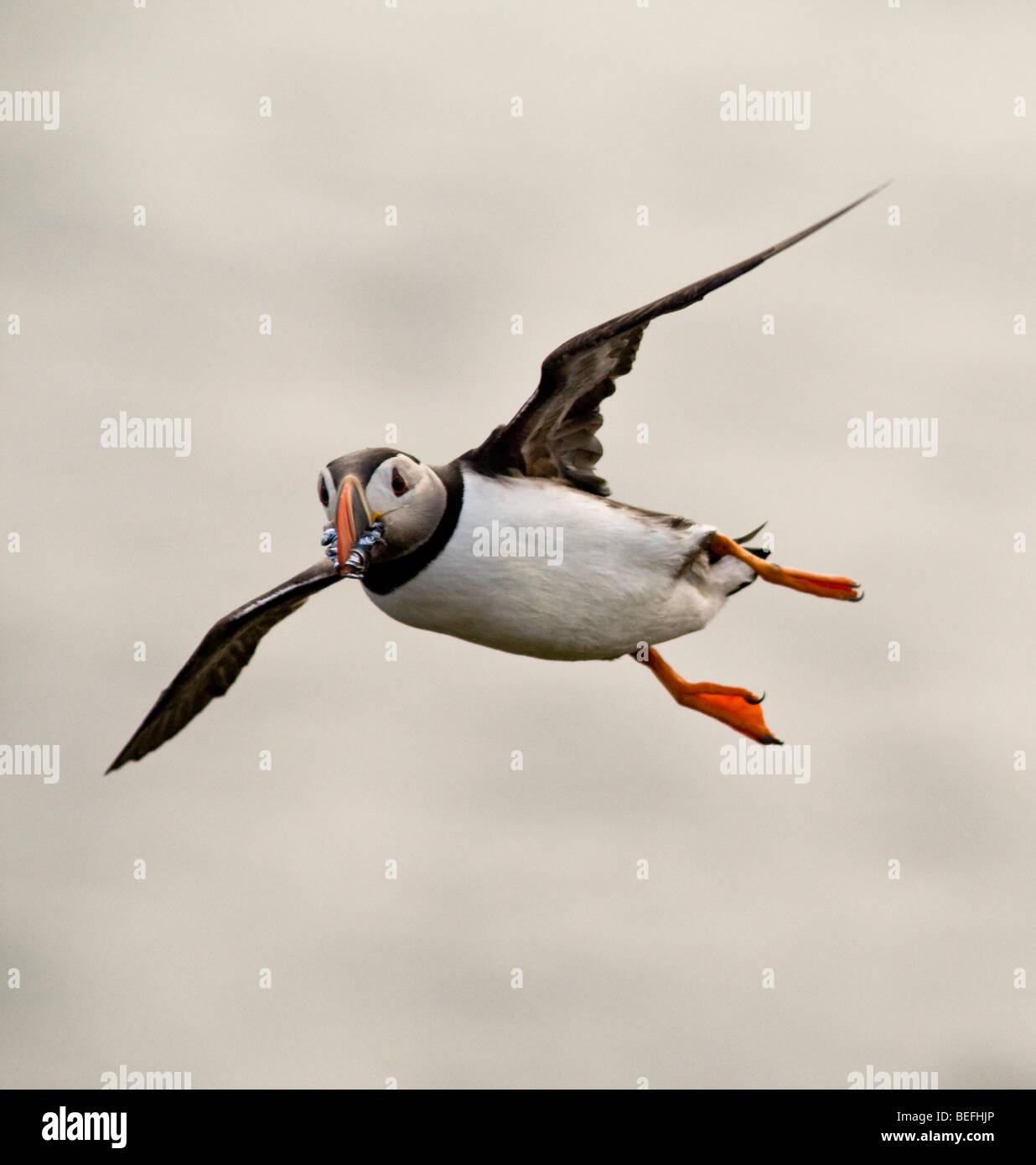 Atlantic puffin in flight with sandeels Fair Isle Shetland Stock Photo