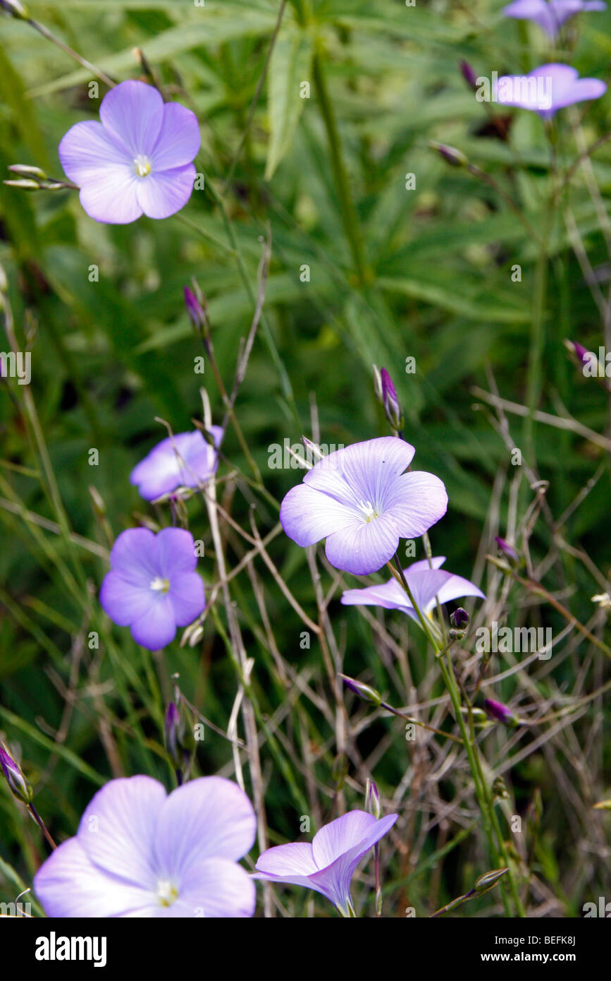 Linum narbonense - Blue Flax - Stock Image