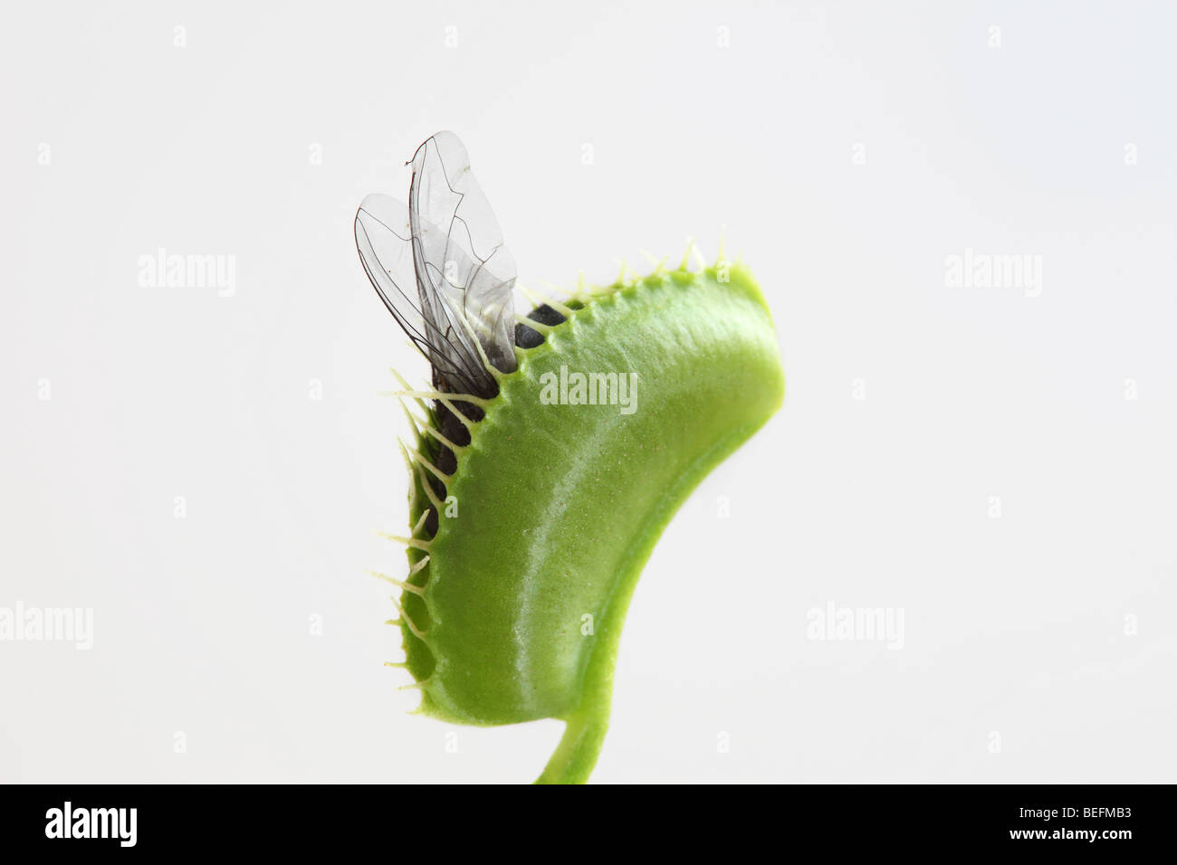 Venus Fly Trap With Fly Stock Photos & Venus Fly Trap With Fly Stock ...