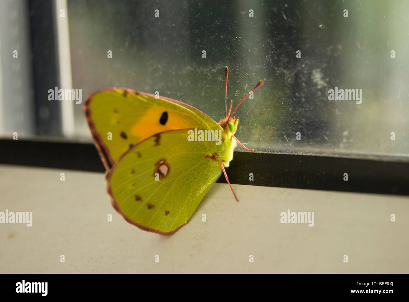 Clouded Yellow butterlfy at a window - Stock Image