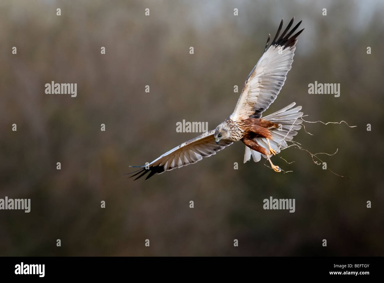 Male marsh harrier in flight with twigs to make a nest Stock Photo