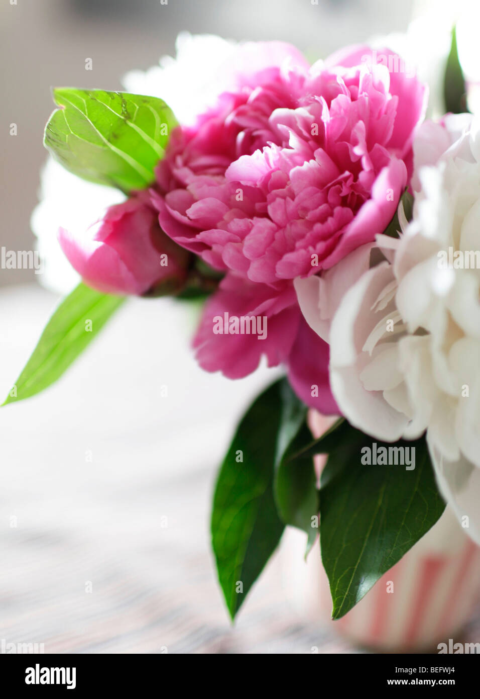 Peonies . Stock Photo