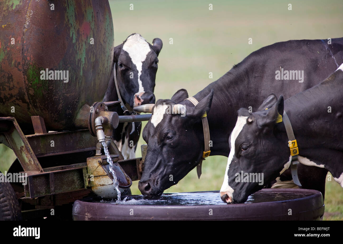 Cows drinking water . Stock Photo