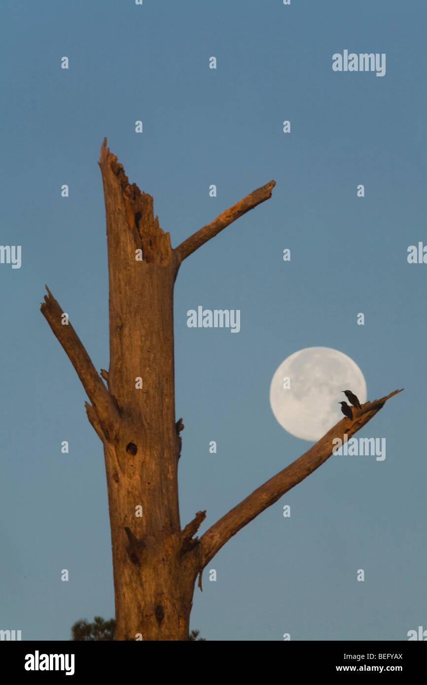 European Starling (Sturnus vulgaris), pair silhouetted against full moon at nest tree, Raleigh, North Carolina, - Stock Image