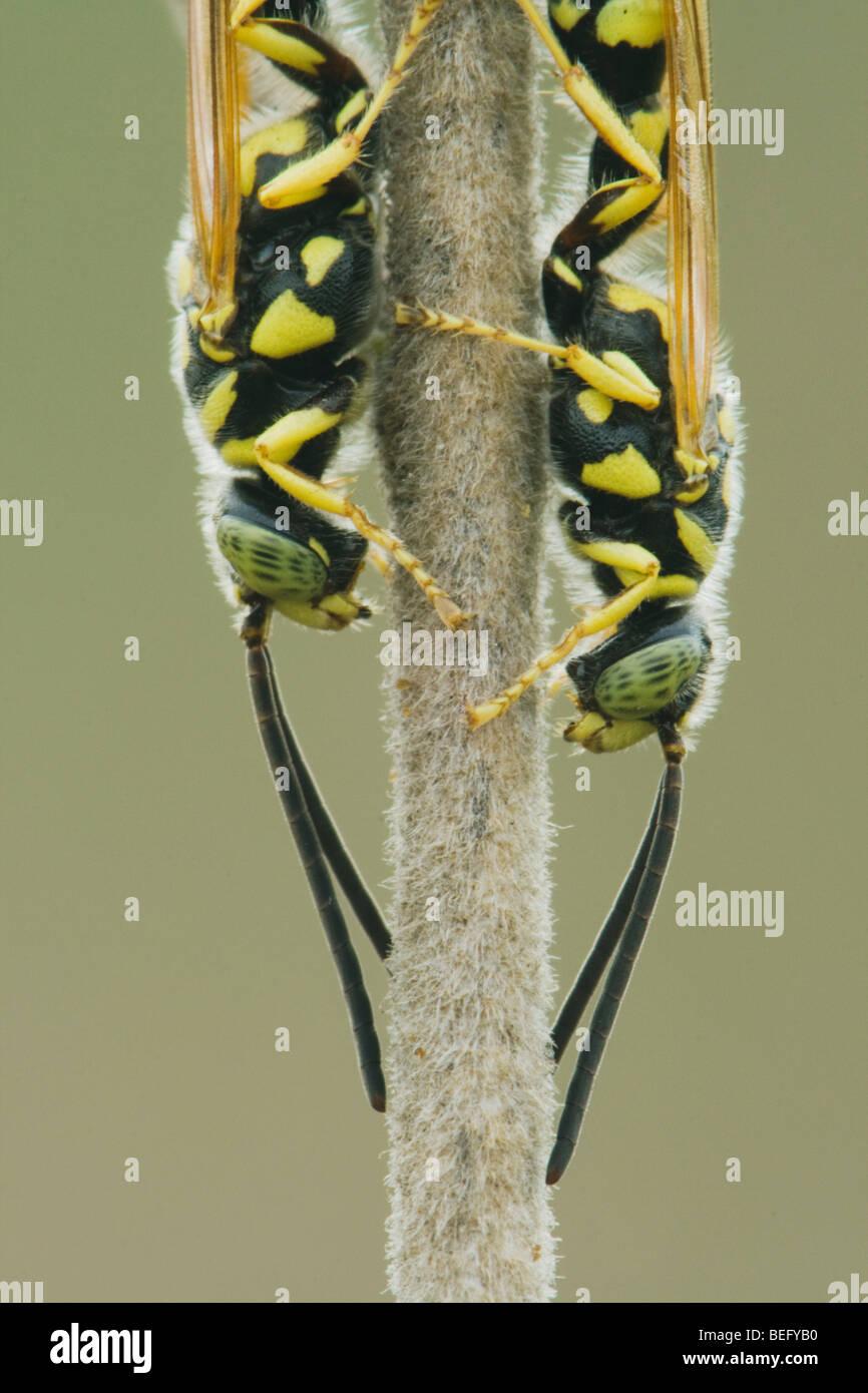 Five-banded Tiphiid Wasp (Myzinum quinquecinctum), adults resting, Sinton, Corpus Christi, Coastal Bend, Texas, - Stock Image