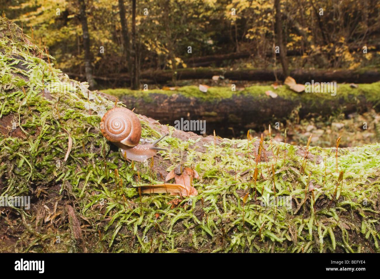 Land Snail (Gastropod) on mossy tree, Raven Rock State Park, Lillington, North Carolina, USA - Stock Image
