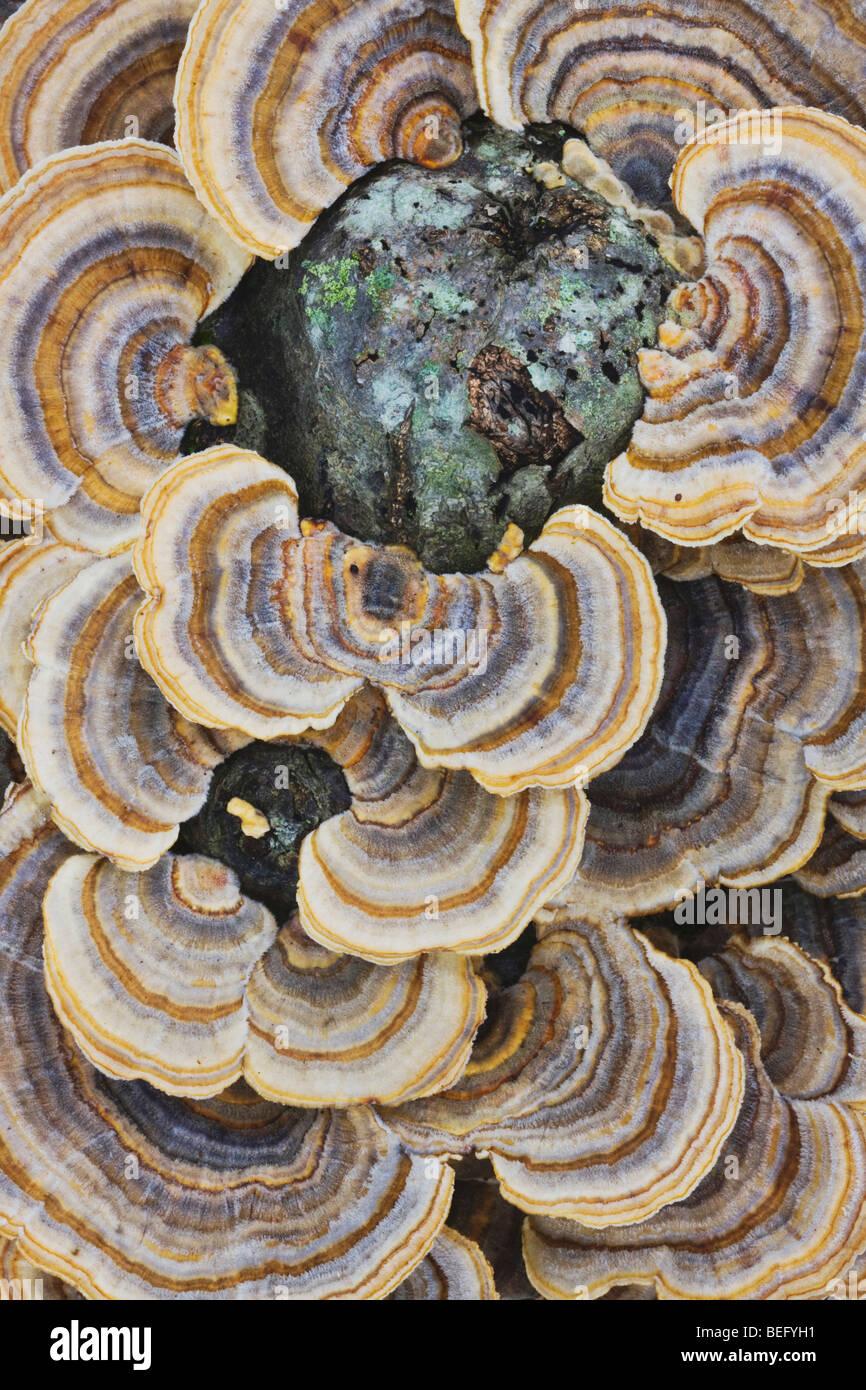 Turkey tail fungus (Trametes versicolor), on stump, North Carolina, USA - Stock Image