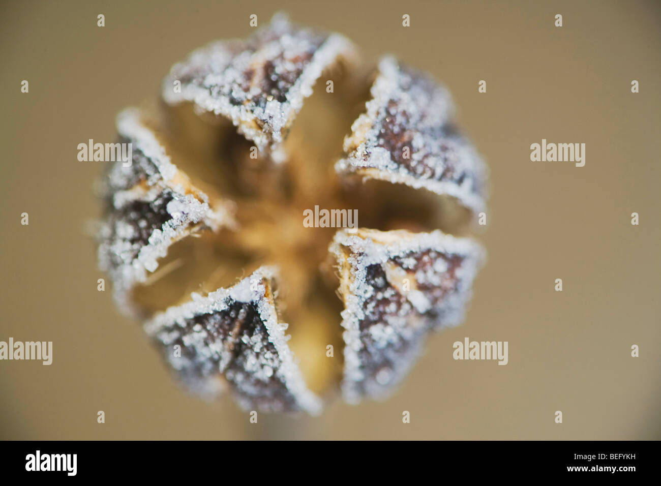 Marsh Mallow (Althaea officinalis), close up of frost covered seed pod, Raleigh, North Carolina, USA Stock Photo